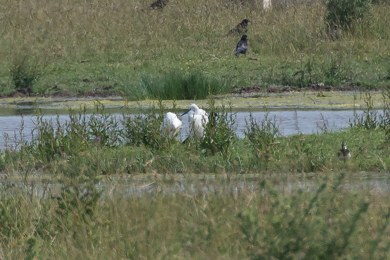 large white bird-11