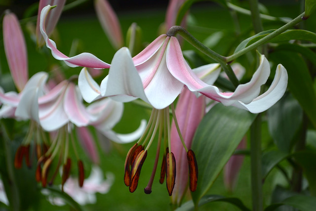 Lilium (lily) 'Anastasia' in the Plant Family Collection monocot border. Photo by Blanca Begert.