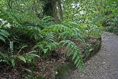 Blechnacaeae