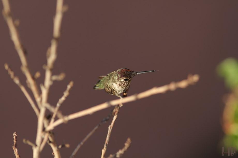 immature Anna's Hummingbird 072313