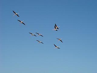 175 vliegende flamingo's