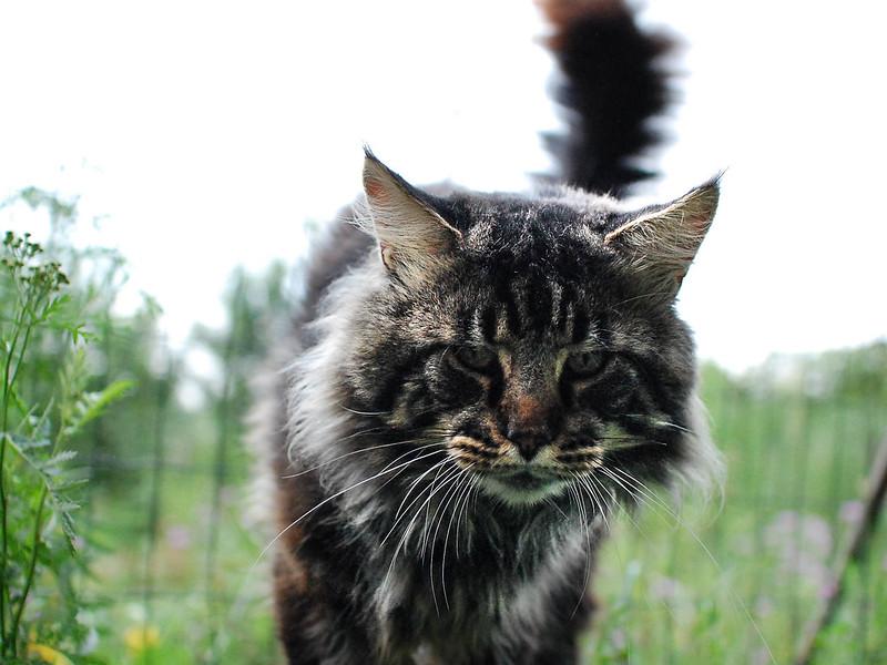 Lynx Shadow Varlak