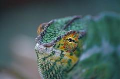 Panther Chameleon (Furcifer pardalis) (captive specimen)