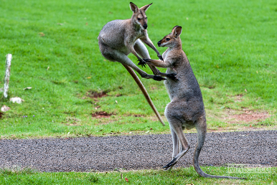Juvenile red-necked wallabies at play.