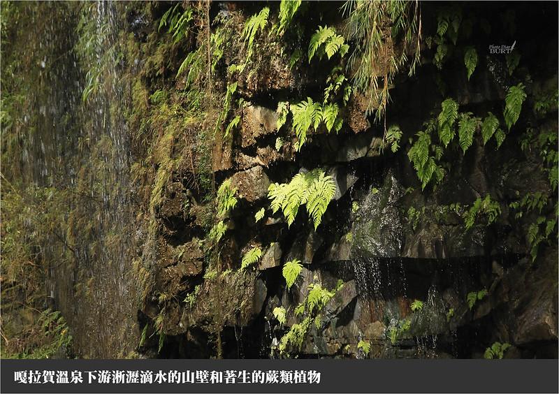 著生崖壁的蕨類
