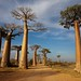 Avenue des Baobabs (Jonas Christiansen)