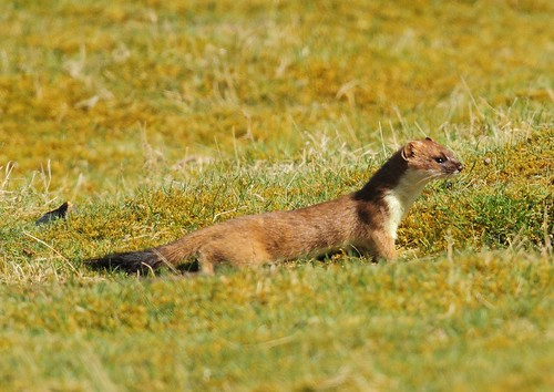 stoat on the prowl