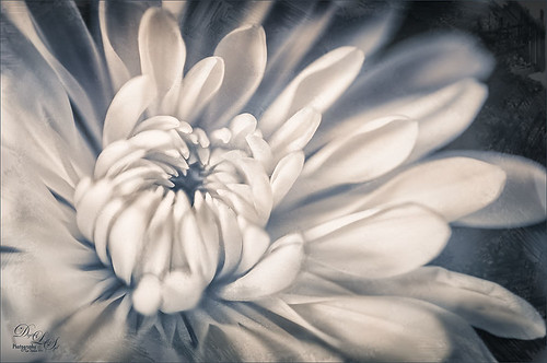 Image of a white dahlia