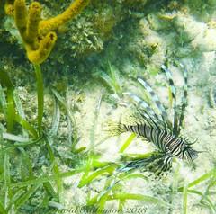Lionfish A 20110427_1398 copy 2