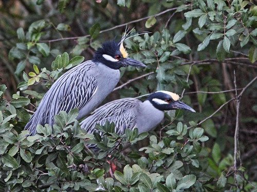 Yellow-crowned Night-Herons 20140313