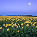 moon over tulips by Tim Shields BC