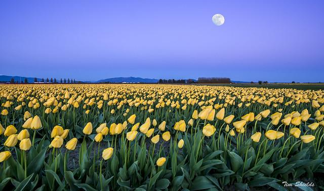 moon over tulips