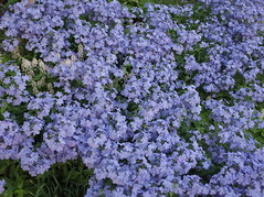 annual plant, shrub, flower, lilac, herb, groundcover,