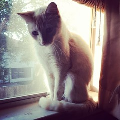 Rose in the window.  #catsofinstagram #cat #sheltercat