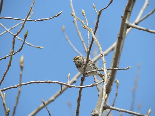 #54 Savannah Sparrow ( Passerculus sandwichensis)