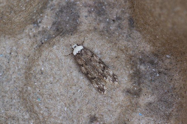 217: White-shouldered House Moth