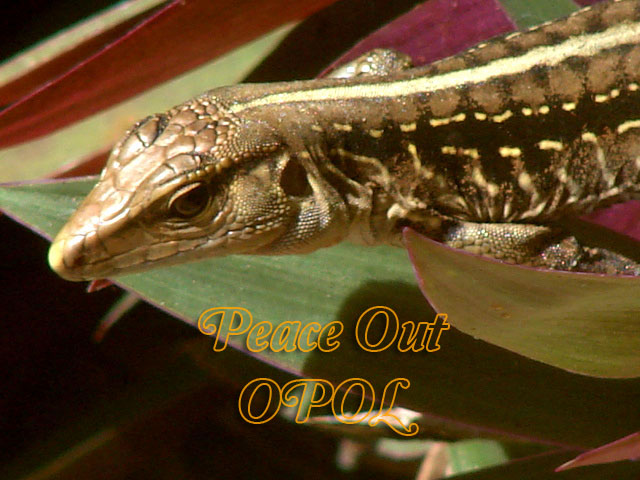 one-of-my-many-lizard-friends-peace-out-opol