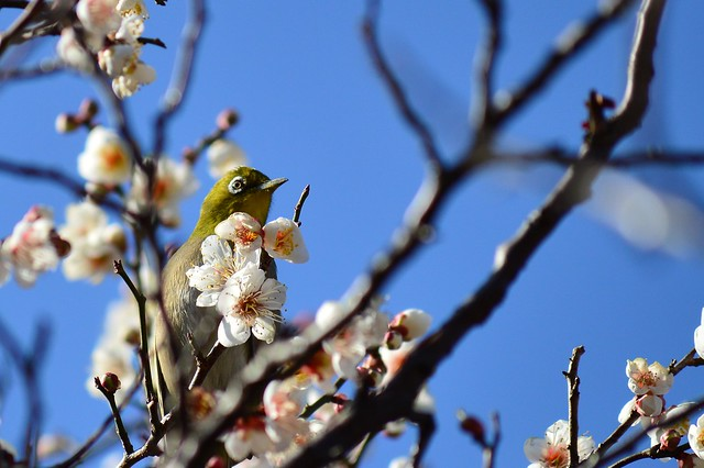 メジロ Japanese White-eye