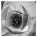 Flower In Black and White by arbyreed