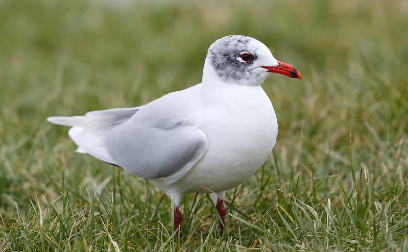 Adult Med Gull - almost full plumage