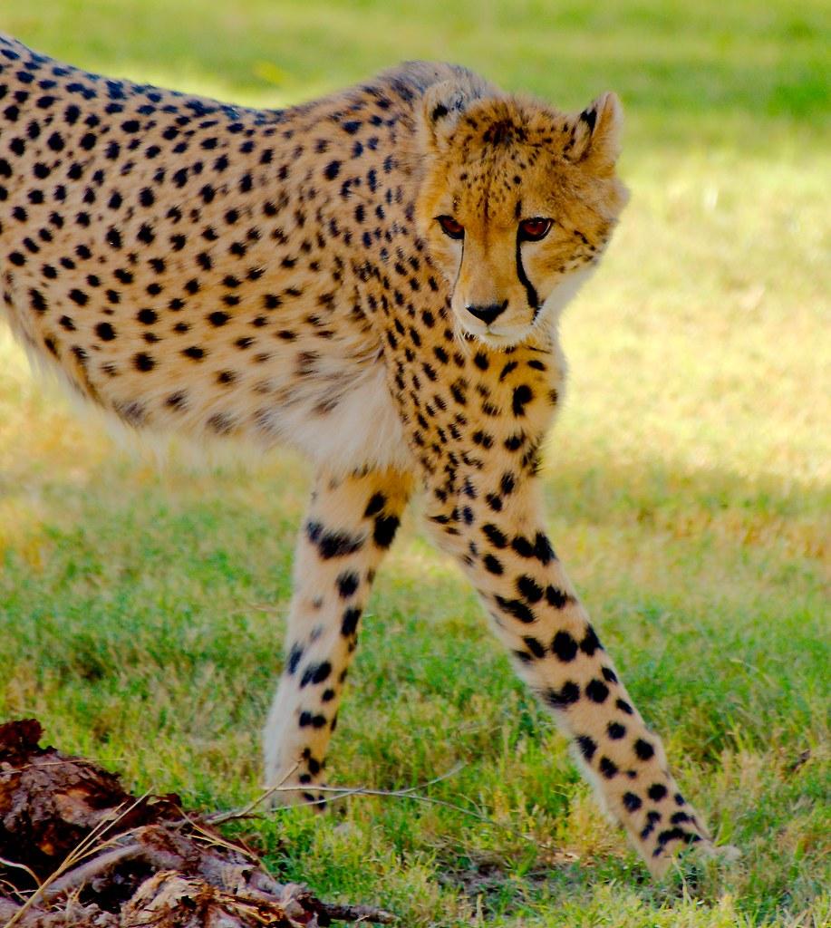 Cheetah (Acinonyx jubatus)_6