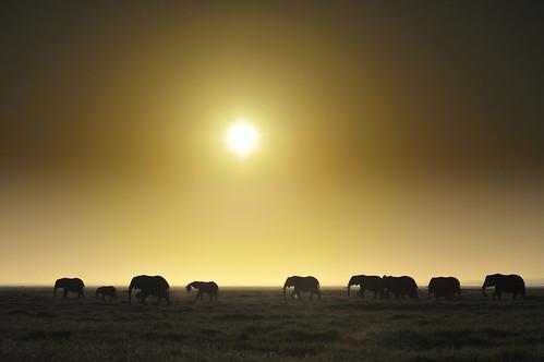 sunrise kenya elephants eastafrica dianarobinson nikond3s elephantsinaline elephantsatsunrise