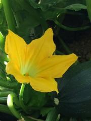 Flor de calabacín.