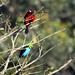Paradise Tanager, northern Peru