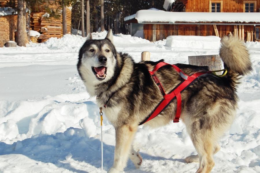 Balade chiens de traineau chiens de traineau (3)
