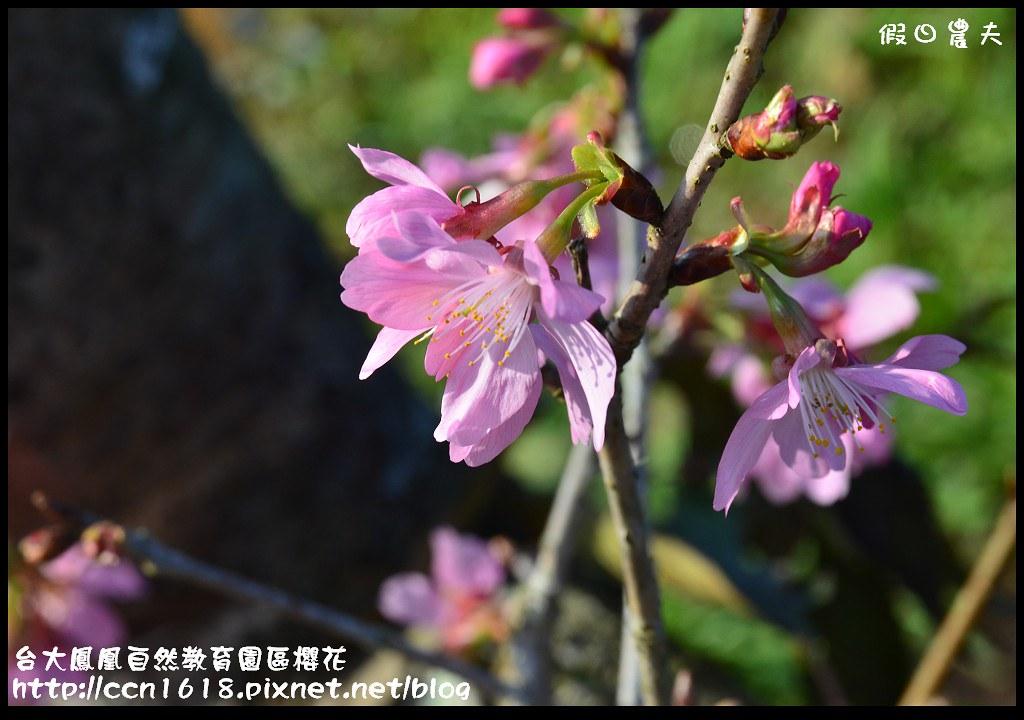 台大鳳凰自然教育園區櫻花DSC_5914