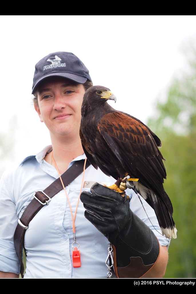 Fergus the Harris Hawk (Parabuteo unicinctus)