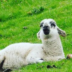 Week 21 #cf16 #animalfaces one of the lambs