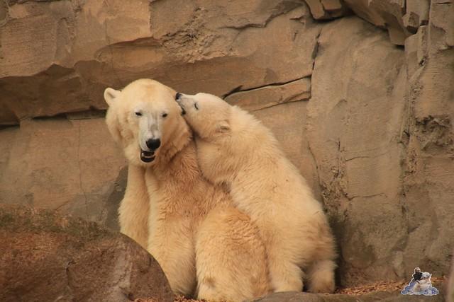 Eisbär Lili im Zoo am Meer Bremerhaven 14.05.2016 Teil 2 0143