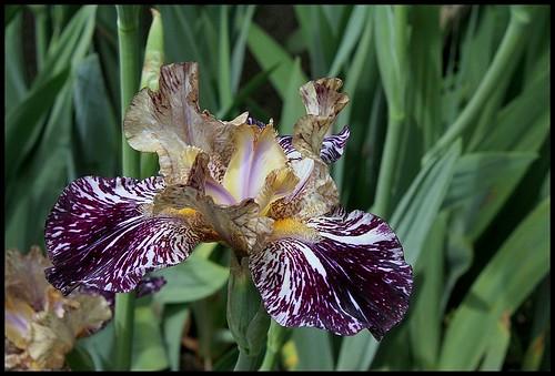Iris Gnus Flash (3)