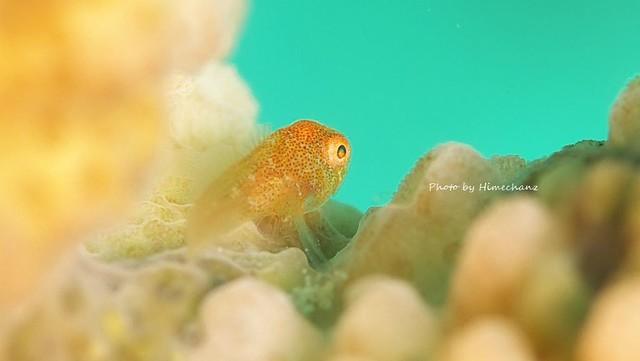 カサイダルマハゼ幼魚♪