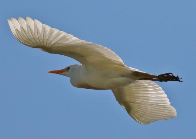 Rare U.k. Cattle Egret . Dungeness RSPB
