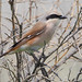 Presumed adult male RED-BACKED x TURKESTAN SHRIKE Lanius cullurio x phoenicuroides by Rich Andrews