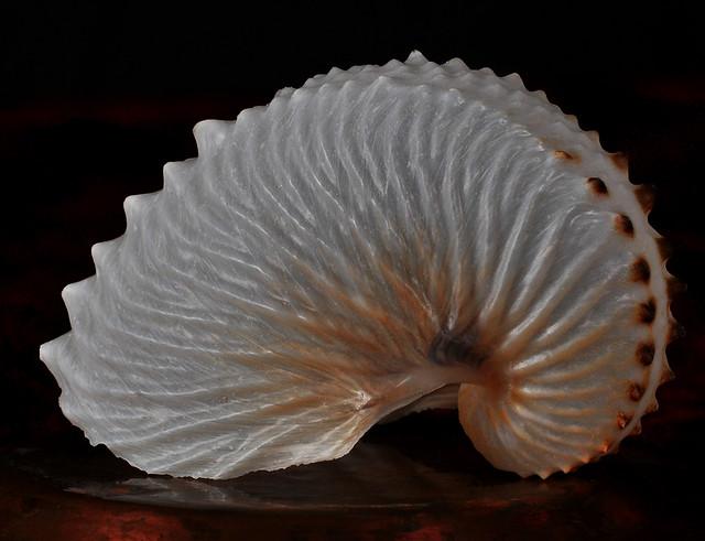 Paper Nautilus   My co...