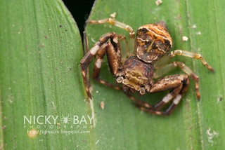 Crab Spider (Strigoplus sp.) - DSC_3061