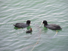 Grebes of Lake Zurich at Zurichhorn