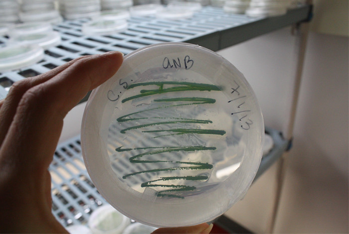 This Petri dish holds algae that could one day serve as a new fuel source
