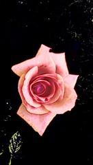 Rosi Rose