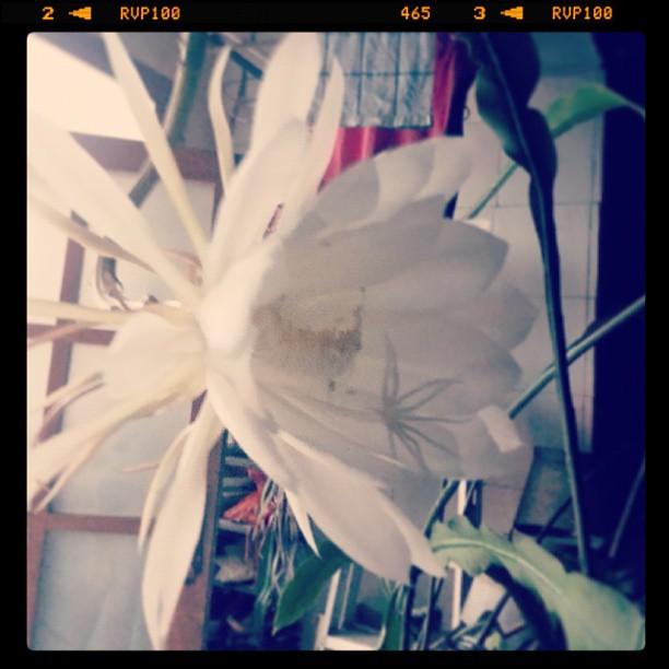 Epiphyllum (: