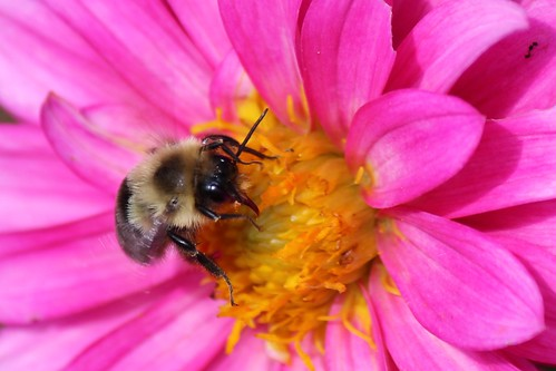 IMG_1587_Bee_on_Pink_Flower_At_Leila_Arboretum
