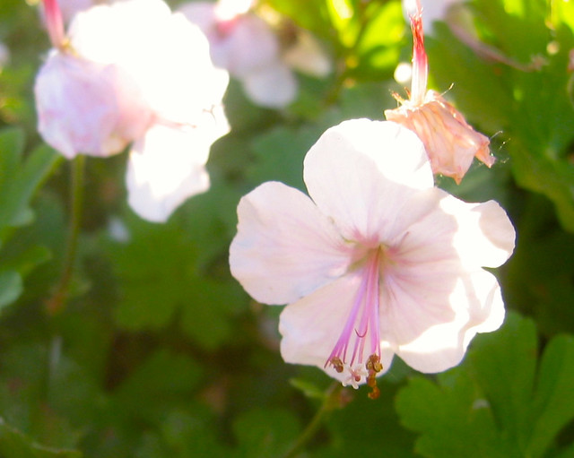 Geraniums in sun