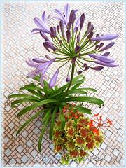 Agapanthus specie and Geranium 'Vancouver Centennial'