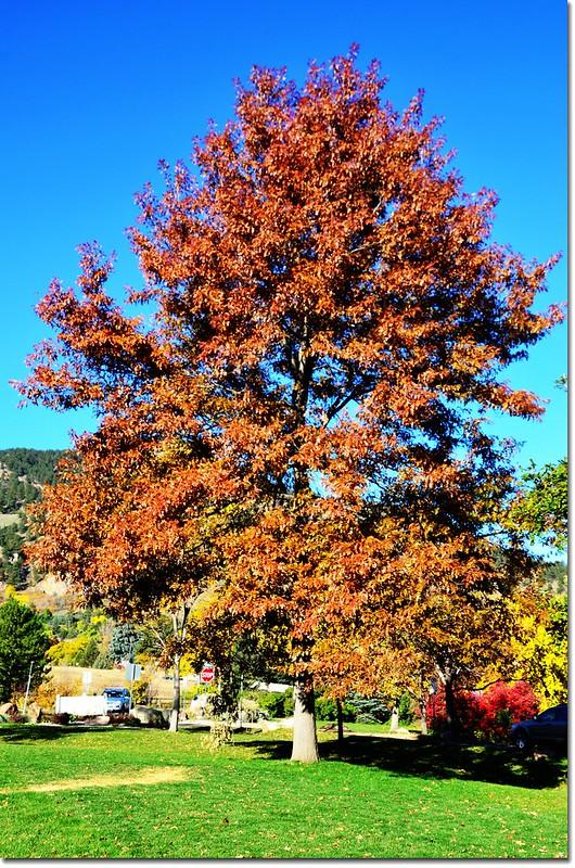 Oak(橡、櫟) in Fall, Chautauqua, Boulder 2