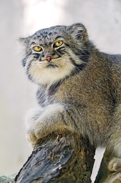 Posing Pallas cat