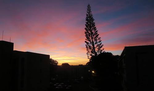 brasília sunrise dawn araucaria alvorada brasilia distritofederal norfolkislandpine araucariaheterophylla brasilemimagens