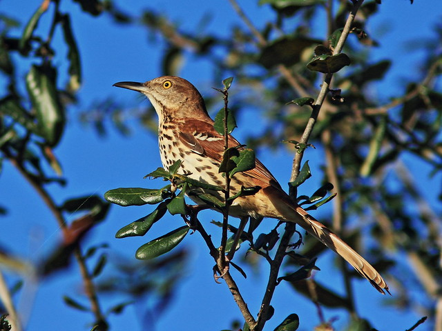 Brown Thrasher 3-20140212